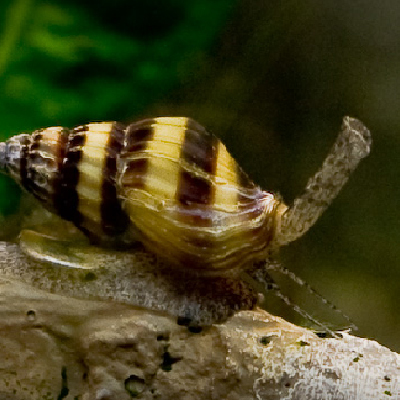 Carnivorous snail Helena