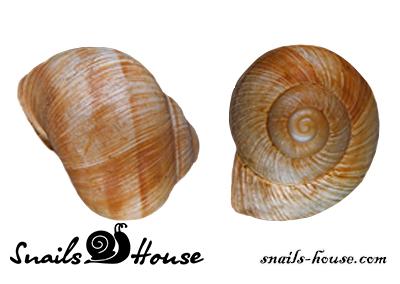 Helix Pomatia Shells