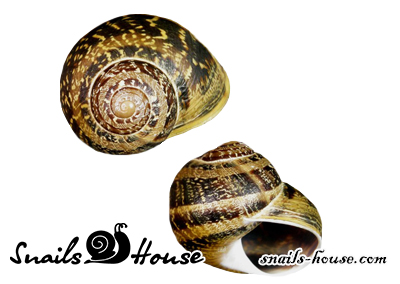 Helix Aspersa Maxima Shells