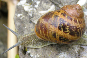 Snails' lifespan and size