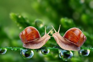 Snails find their place in cattle breeding