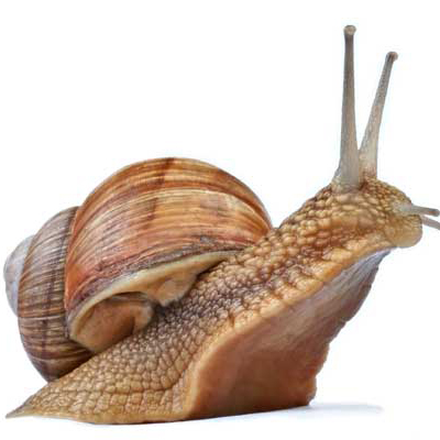 Composition of snail's shell