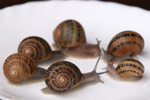 How to breed snails of  species Helix Aspersa Maxima
