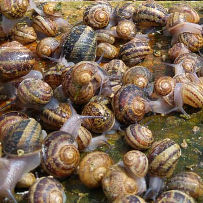 HOW TO PROPERLY MAINTAIN A SNAIL BROOD STOCK?