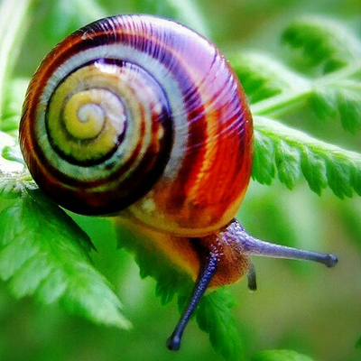 WHAT DOES THE COLOR OF THE SNAIL SHELL DEPEND ON?