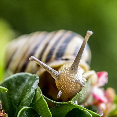 METHODS OF BREEDING SNAILS