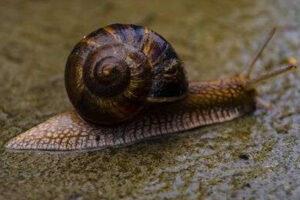 SNAILS OF THE HELIX GROUP - THE MOST EFFECTIVE AND TASTY DELICATE OF ANIMAL ORIGIN