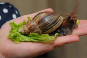 WHAT FOOD EAT ACHATINA SNAILS IN HOME CONDITIONS?