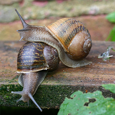 HOW DOES THE SNAIL BREED?