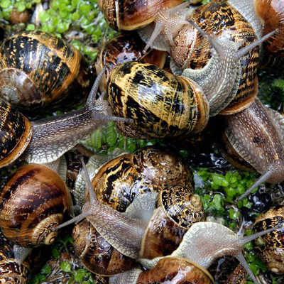 GROWING SNAILS FOR RESTAURANTS