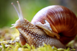 HOW TO COOK GRAPE SNAILS