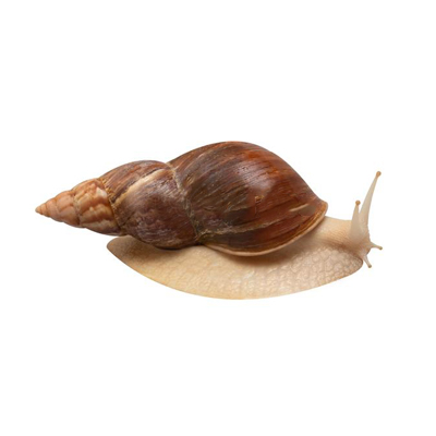 IS THE SLEEPING OF THE SNAIL ACHATINA NORMAL OR IS THIS A REASON FOR ANXIETY?