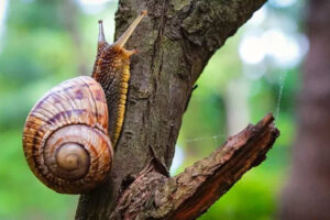 WHY SNAILS CLIMB ON TREES IN SPRING