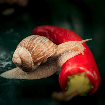 WHAT TO FEED SNAILS WITH? BASIC DIET OF ACHATINA SNAILS